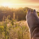 beautiful and cute fun  dog in sunset nature. Siberian husky.
